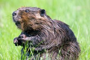 nacionalna žival - bober